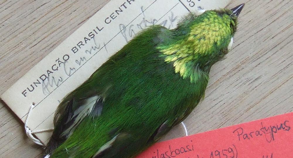 gorzyczek zielonkawy w muzeum w Berlinie