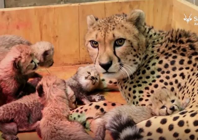 Samica geparda w zoo w Saint Louis urodziła osiem młodych