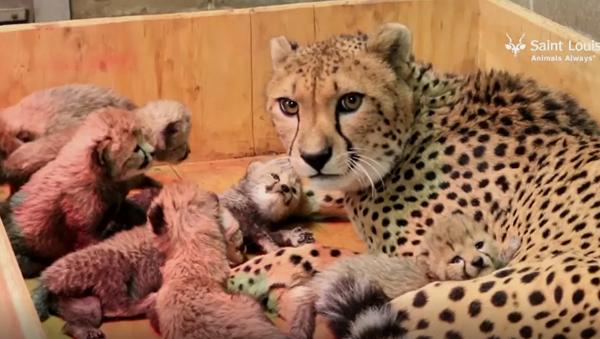 Samica geparda w zoo w Saint Louis urodziła osiem młodych - Sputnik Polska