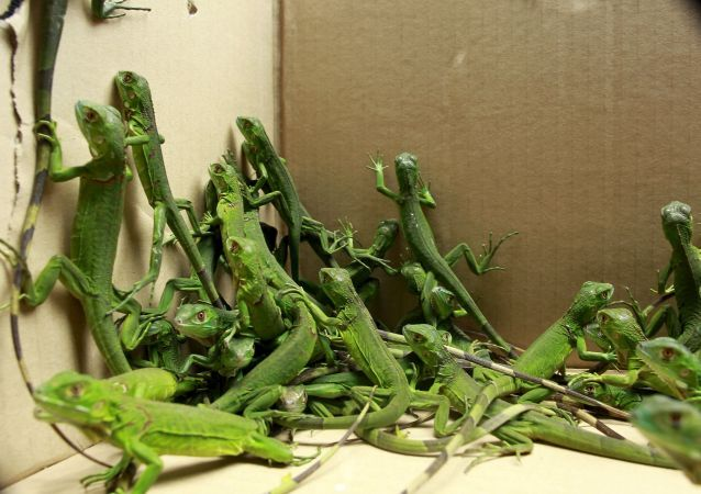 Młode iguany