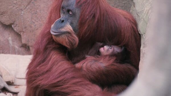 Orangutan sumatrzański - Sputnik Polska