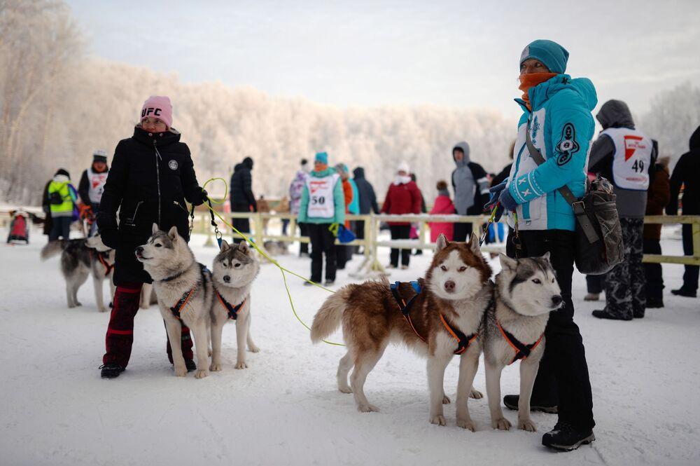 Wytrzymałych husky, łajek i malamutów nie powstrzymały mrozy dochodzące do -25 C, ani trudna trasa wyścigu: w zaprzęgu psy osiągały tempo do 27 km/h.