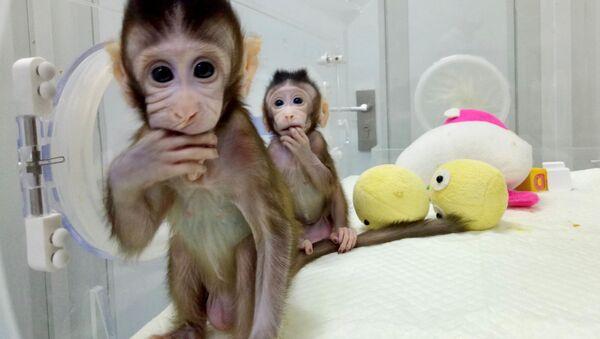 Sklonowane makaki - Sputnik Polska