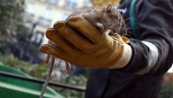 Pracownik służb komunalnych trzyma w ręce szczura w centrum Paryża. Zdjęcie archiwalne - Sputnik Polska