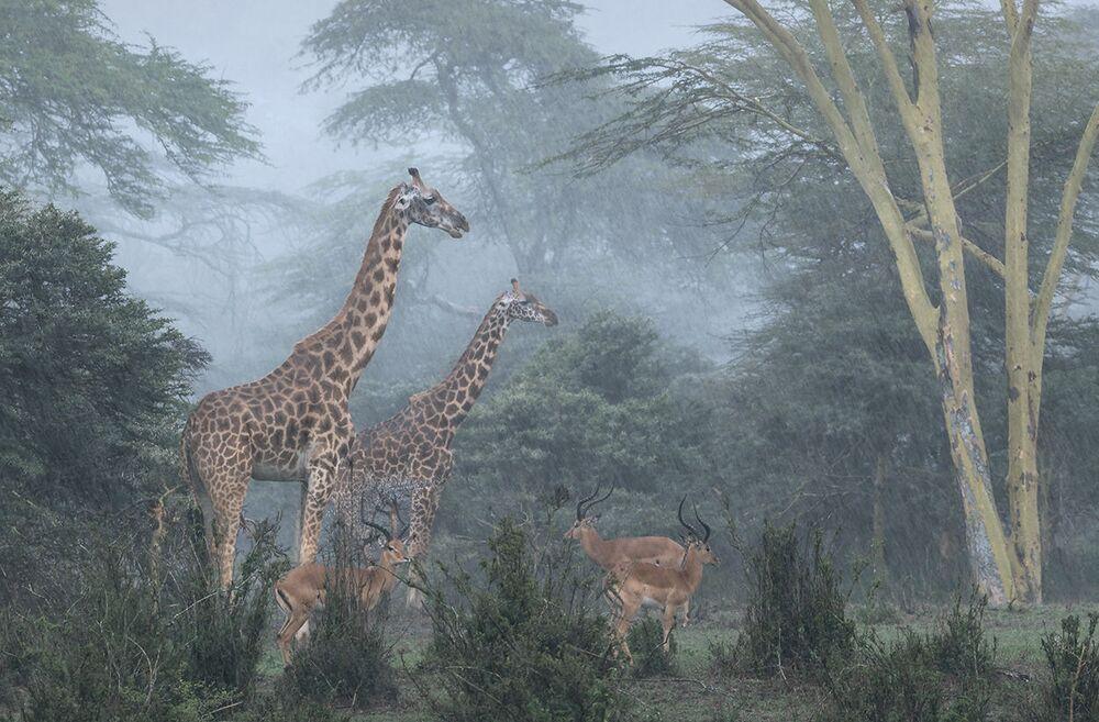 Zwycięzcą konkursu w kategorii Rozumienie dzikiej przyrody została praca Narodowy Park Nairobi fotografa z Portugalii Jose Fragozo.