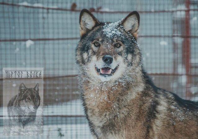 """Podmoskiewskie schronisko dla wilków """"Wilczy Barłóg"""
