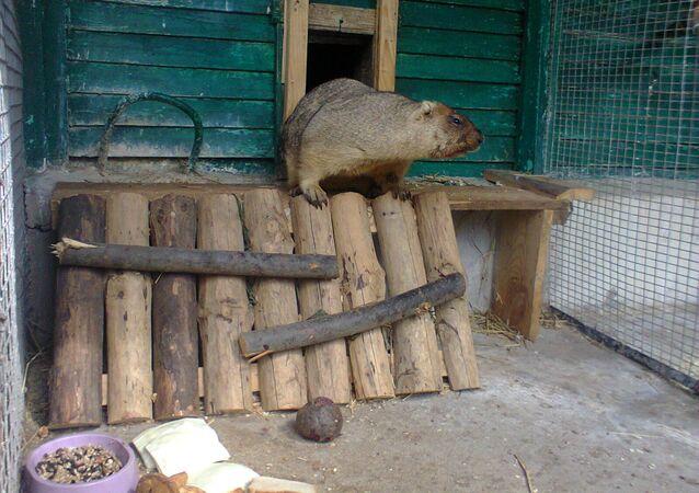 Świstak Malczyk w lipieckim Zoo