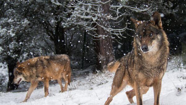 Wilki w lesie zimą - Sputnik Polska