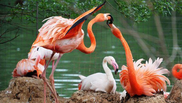 Flamingi w moskiewskim ZOO - Sputnik Polska