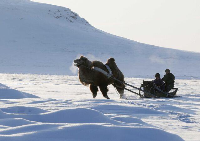Pasterze podróżują na saniach ciągniętych przez dwugarbnego wielbłąda na stepach w Republice Tuwy