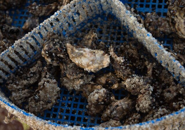 Ostrygi wydobyte na plantacji fermy omułek i ostryg Kurszawel w Soczi