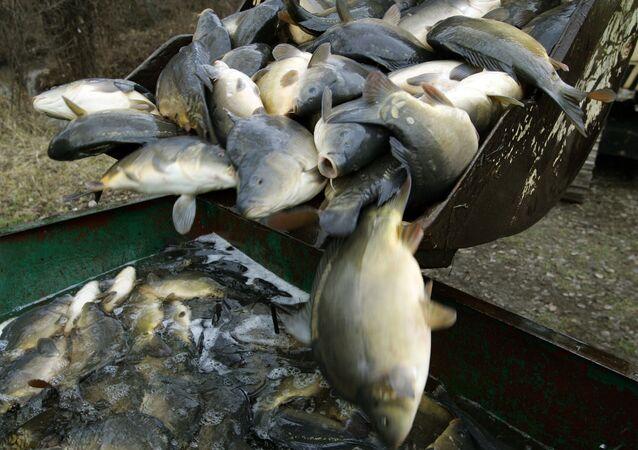 Karpy na zakładzie przetwórstwa rybnego w pobliżu Warszawy