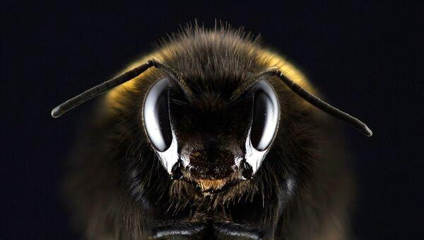 Pszczoła - Sputnik Polska