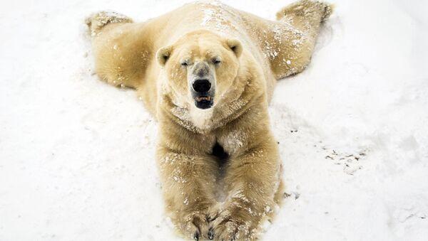 Biały niedźwiedź na śniegu w parku w Doncaster - Sputnik Polska