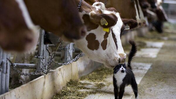 Krowy na farmie w miejscowości Granby w prowincji Quebec, Kanada - Sputnik Polska