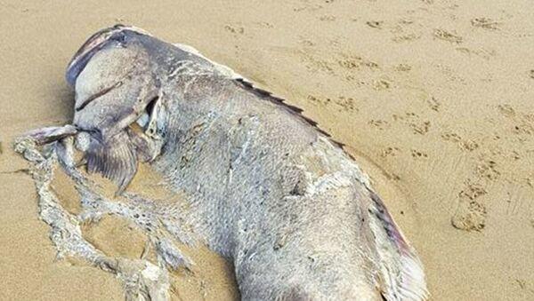 Na brzegu w australijskim stanie Queensland znaleziono ogromną rybę - Sputnik Polska