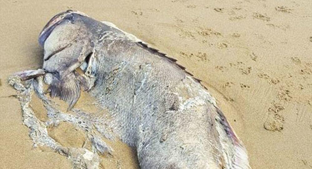 Na brzegu w australijskim stanie Queensland znaleziono ogromną rybę