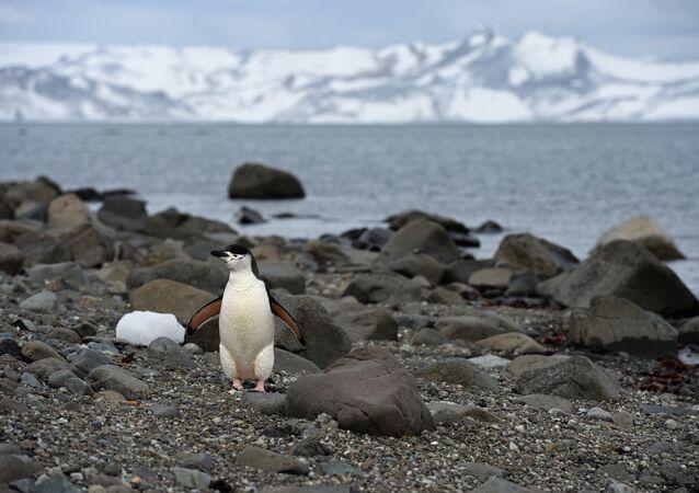 Pingwin na Antarktydzie