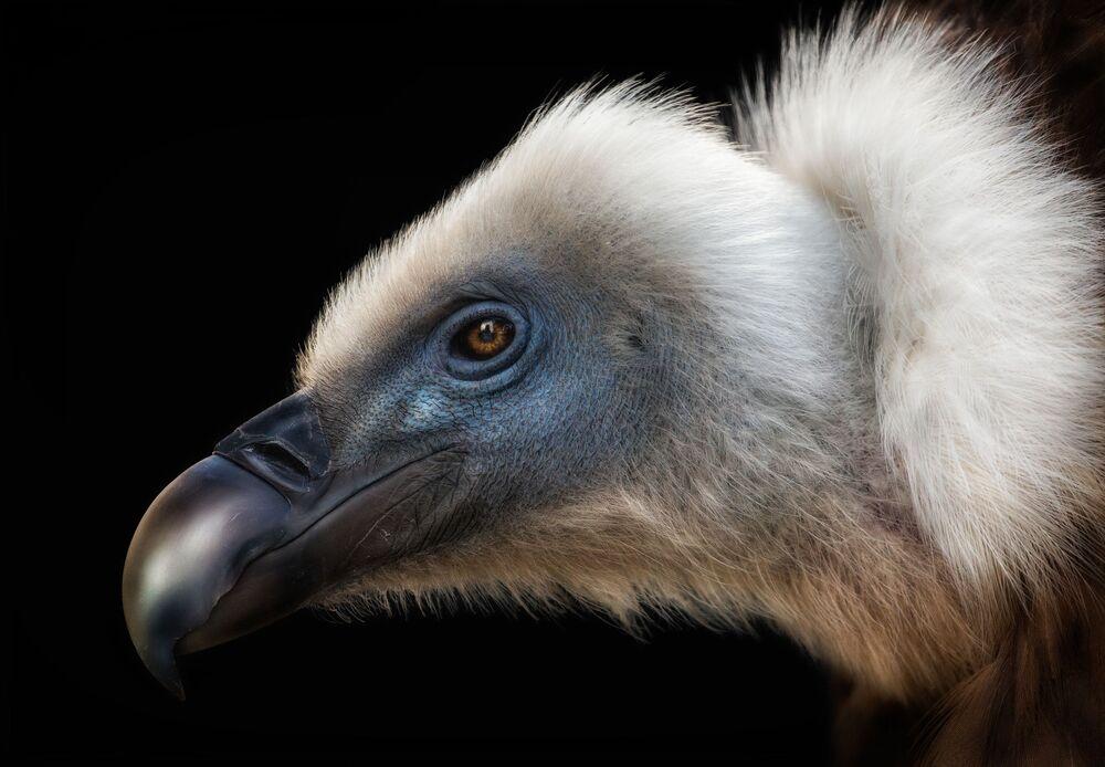 Finalista konkursu Bird Photographer of the Year 2018 -   Pedro Jarque Krebs
