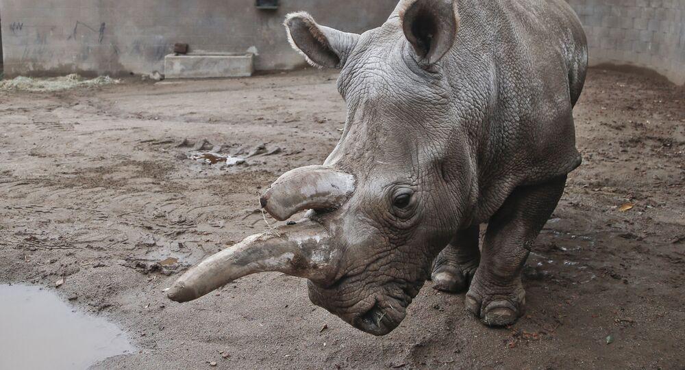 Biały nosorożec