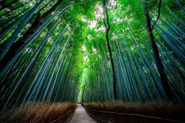 Bambusowy las w Japonii - Sputnik Polska