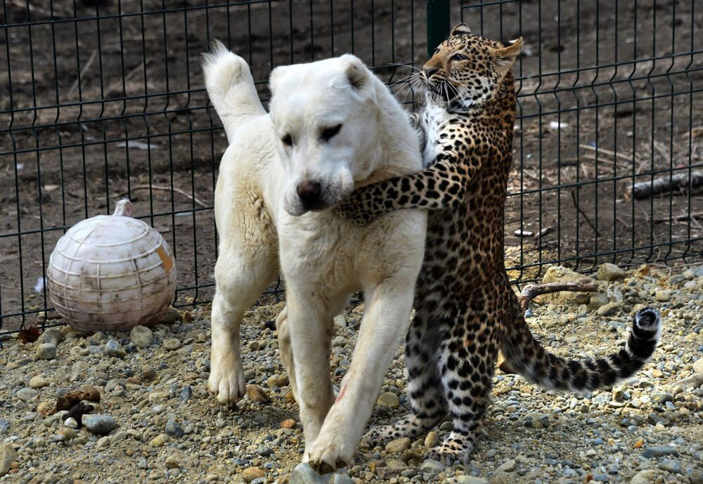 Owczarek środkowoazjatycki Elsa i kocię leoparda Milasza podczas spaceru we Władywostockim Zoo Sadgorod