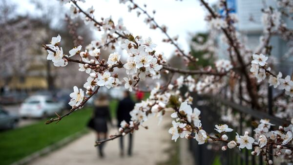 Kwitnąca wiśnia w Symferopolu - Sputnik Polska