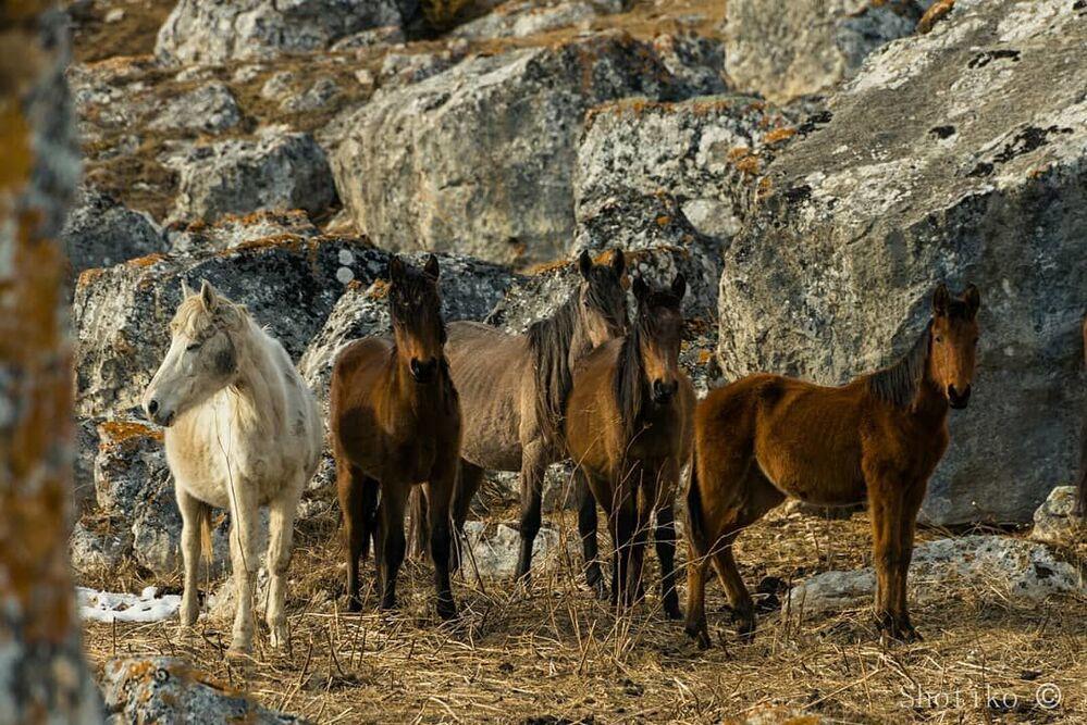 Konie w górskiej miejscowości w Osetii Północnej