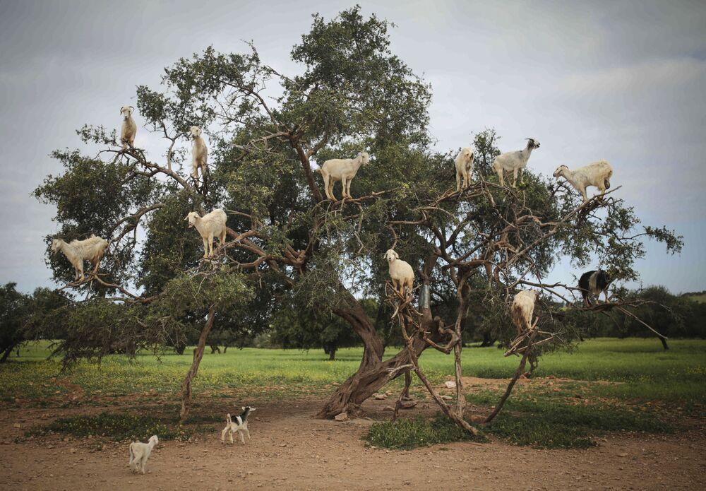 Koza szuka pożywienia na arganowym drzewie w południowo-zachodniej części Maroka
