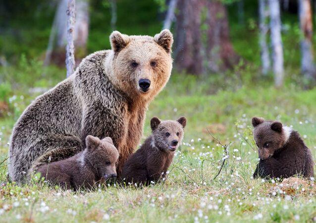 Niedźwiedzia rodzina