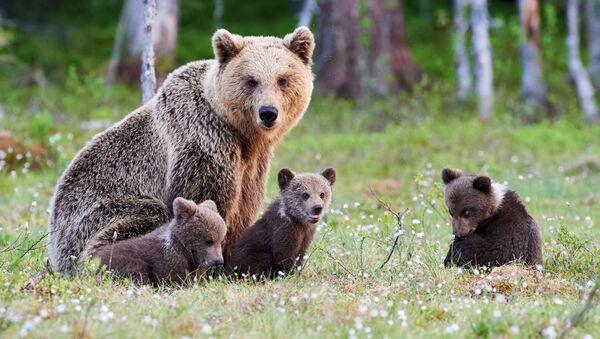 Niedźwiedzia rodzina - Sputnik Polska