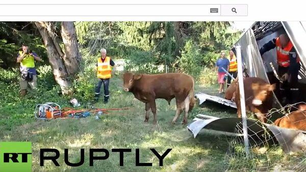 Z powodu wypadku we francuskich Alpach zginęły krowy - Sputnik Polska