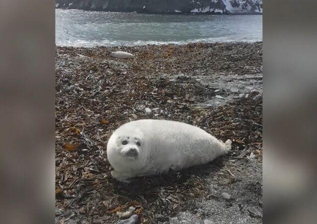 Największe młode foki plamistej