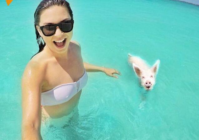 Świnie na plaży