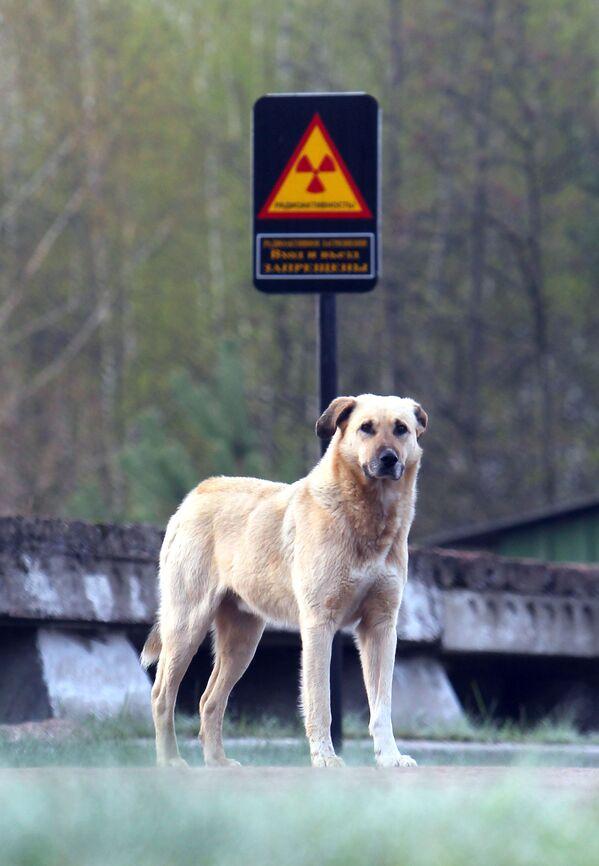 Pies w strefie zamkniętej elektrowni jądrowej w Czarnobylu - Sputnik Polska