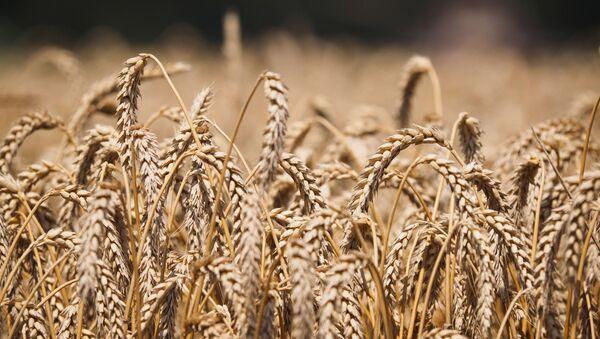 Pszenica na polach kompleksu rolnego w Kraju Krasnodarskim - Sputnik Polska