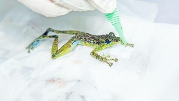 Żaba w laboratorium - Sputnik Polska