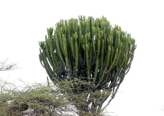 Roślina wilczomlecz kandelabrowy