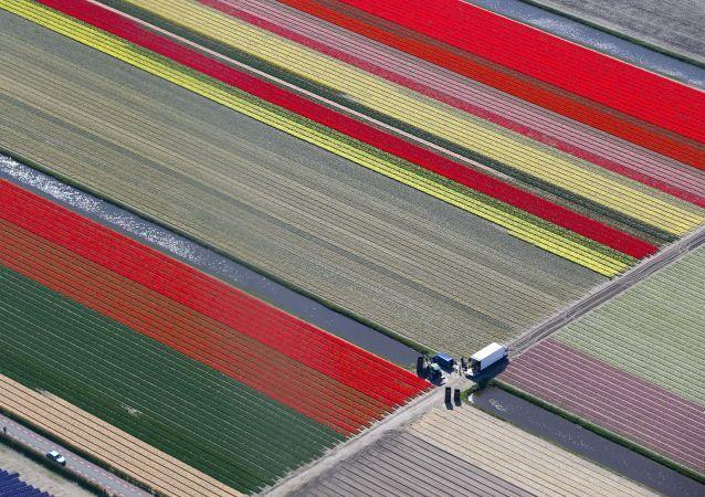 Pola kwiatowe w Holandii