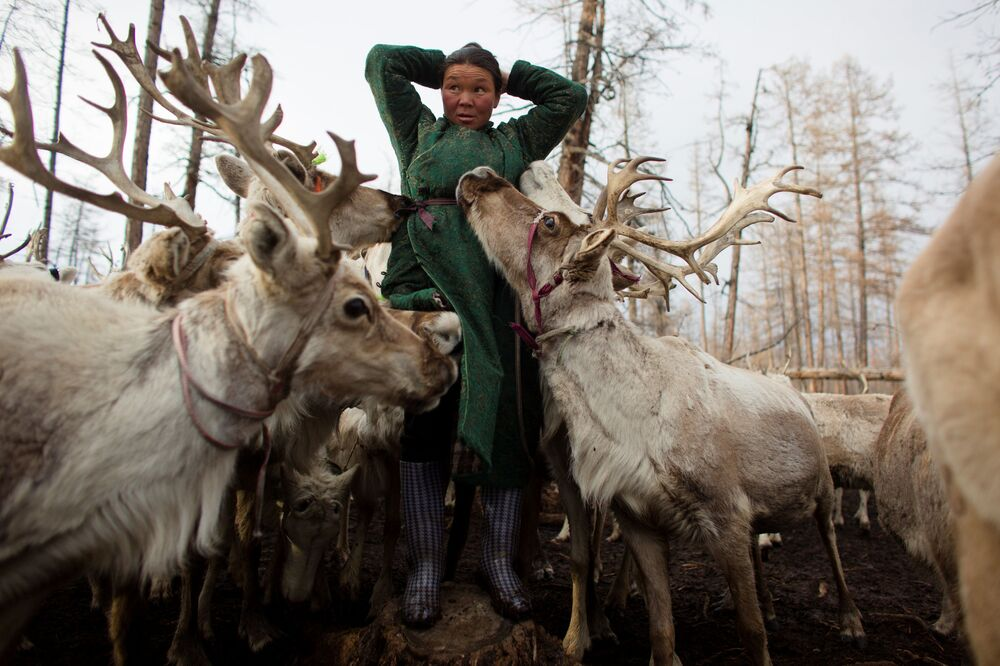 Renifery zlizują sól z rąk mongolskiej kobiety