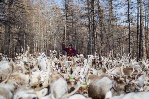 Mongolski koczownik pasie stado reniferów - Sputnik Polska