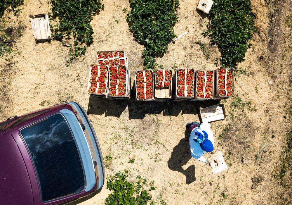 Zbieranie truskawek w Kraju Krasnodarskim