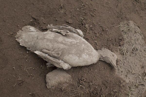Pokryte popiołem zwłoki kaczki po erupcji wulkanu w Gwatemali - Sputnik Polska