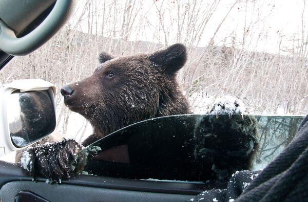 Niedźwiedź brunatny prosi o jedzenie na drodze w obwodzie sachalińskim - Sputnik Polska