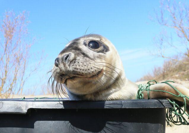 Wpuszczanie do Morza Bałtyckiego foki szarej