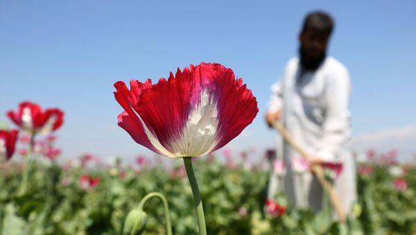 Rolnik pracuje na polu makowym polu w Afganistanie - Sputnik Polska