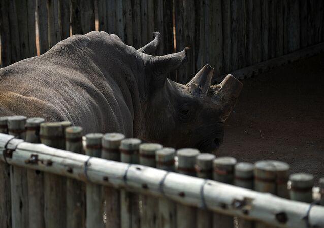 Zdjęcie archiwalne z 2009 roku północnego białego nosorożca w Kenii