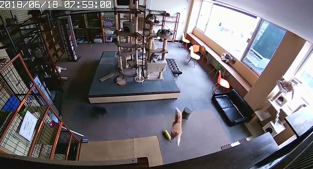 Kawiarnia z kotami w Japonii przed trzęsieniem ziemi