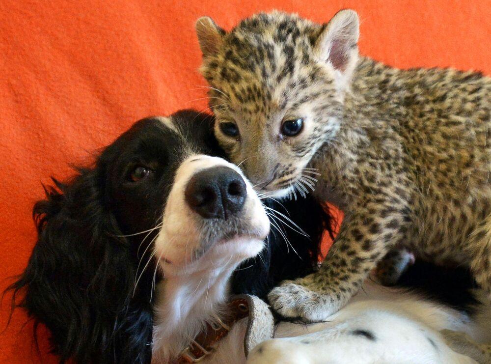 Cocker spaniel Sheri i młode leoparda Steffani, które przyjęła na wychowanie