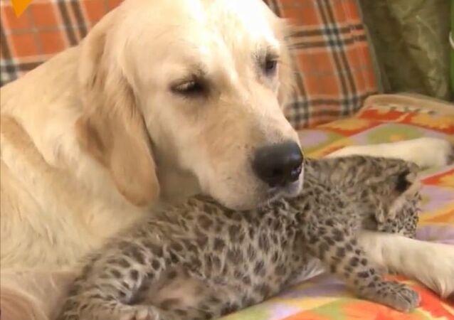 Tego leoparda wykarmił pies